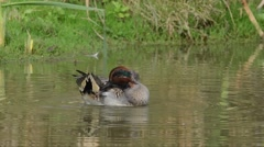 Stock Video Footage of Teal, Anas crecca, duck,  wild duck,  male,  water, river, fresh water, bird,