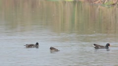 Moorhens (Gallinula chloropus) are swimming in a pond Stock Footage