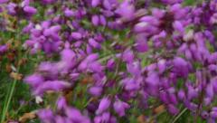 Winter heath, winter flowering heather, spring heath Stock Footage
