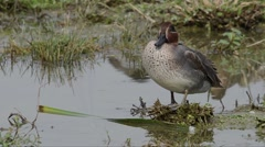 Teal (Anas crecca) at the edge of a pond Stock Footage
