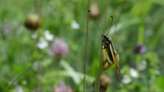 Owly sulphur, Libelloides coccajus, Ascalaphus coccajus, Ascalaphuus libellul Stock Footage