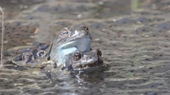 Rana temporaria, mountain frog Stock Footage