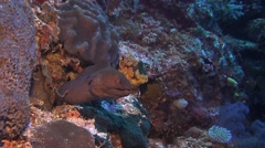 Moray eel with a cleaner fish on a coral reef Stock Footage