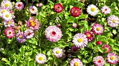 Pink Daisy Field In Spring Stock Footage