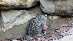 4K footage of a Wildcat (Felis silvestris) kitten Stock Footage
