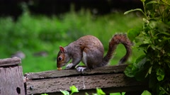 Eastern gray squirrel eating seeds in the park St James, ULTRA HD 4k, real time Stock Footage