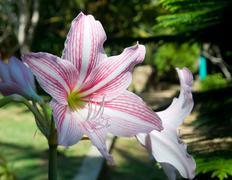 Amaryllis flower Stock Photos