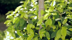 Banyan bush in garden Stock Footage