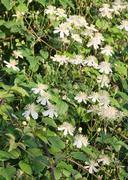 White clematis Stock Photos