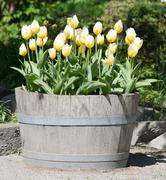 Yellow tulips in wood pot Stock Photos