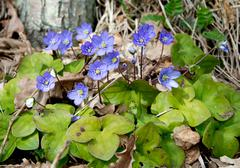 Blue wildflower Hepatica Nobilis - stock photo