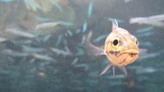 Underwater fish face on to camera - bobbing up and down  kayangan lake Stock Footage