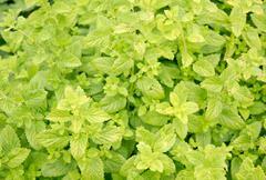 Mentha herbs - stock photo