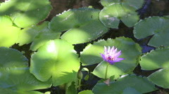 Lotus and Bee on the pond Stock Footage