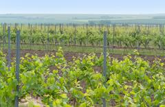 idyllic scenery at the wine region Rheinhessen - stock photo