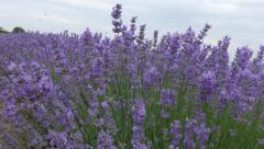 Blossoming lavender in Bulgaria. Stock Footage