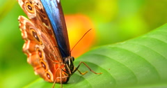 4K Butterfly on Leaf Cleaning Eyes, Macro Close Up Shot Stock Footage