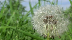 Dandelion seeds blowing from stem (Seed dispersal). High speed shooting. - stock footage