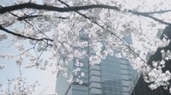 Japanese Cherry Blossom Season Stock Footage