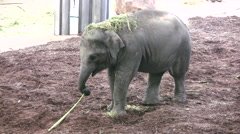 Baby Elephant playing with a plant stalk Stock Footage