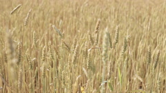 Ears of wheat moving in the wind at sunset Stock Footage