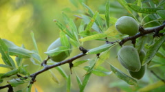 Branch of Almond Fruit, close up Stock Footage
