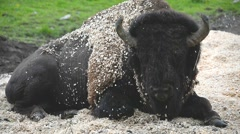 European bison lying in the sawdust, resting. Stock Footage