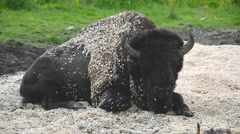 European bison on the rest lies in the sawdust. Stock Footage