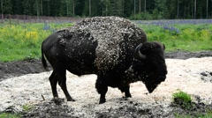 European bison on vacation. Stock Footage