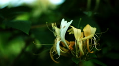 Lonicera caprifolium, Italian Honeysuckle Or Perfoliate Woodbine Front View Stock Footage