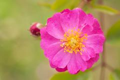 Macro photography of yesterday rose (polyantha nane) Stock Photos