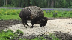 Rare European bison walking, red-listed species. Stock Footage