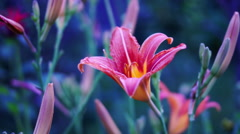 Stock Video Footage of Pink King's Lily (Lilium Regale),Regal Lily, Or Trumpet Lilies