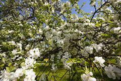 apple-tree flowers - stock photo