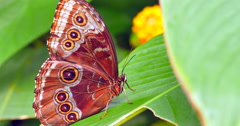 4K Macro Brown Butterfly on Leaf, Close Up Shot Stock Footage