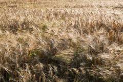 winter barley (Hordeum vulgare L.) - stock photo