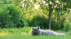 British cat lying on the grass on a summer residence Stock Footage