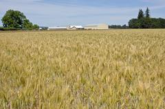 Wheat field in the willamette valley. - stock photo