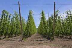 Agriculture and farming of hops in Oregon. Kuvituskuvat