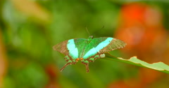 4K Green Butterfly Close Up on Leaf Stock Footage