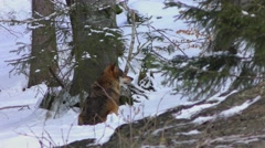 Stock Video Footage of 4K footage of a Gray (or Grey) Wolf (Canis lupus)