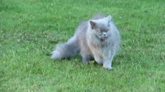 British cat is walking on the grass on a summer residence Stock Footage