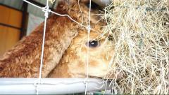 Brown hair Alpaca eating hay Stock Footage