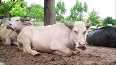 Albino water buffalo Stock Footage