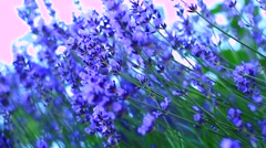 Lavender flowers Stock Footage