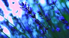 Lavender flowers Stock Footage