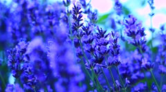Lavender flowers close up Stock Footage