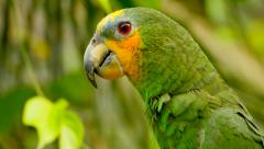 Stock Video Footage of 4K Exotic Green Parrot Close Up, Amazon Jungle