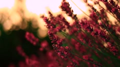 Lavender flower close up Stock Footage