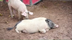 Lazy black head pig lying down on the mud Stock Footage